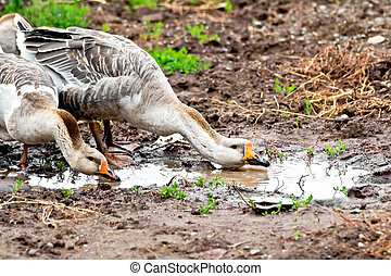 Geese gray imbibe from puddles - Geese gray on the...