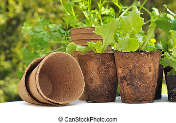 biodegradable pots - seedling lettuce in biodegradable pots...