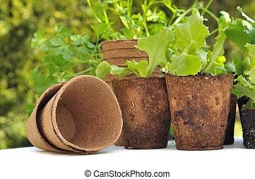 biodegradable pots - seedling lettuce in biodegradable pots...