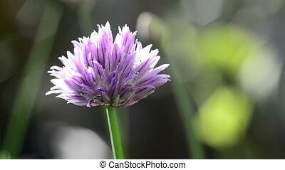 Chive flower - Chive, closeup of the flower