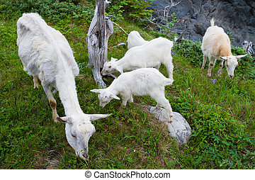 Wild goats - Mother goat with young lambs grazing in the...