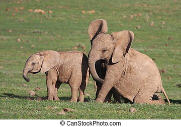 Baby Elephants Playing - Two young African elephants playing...