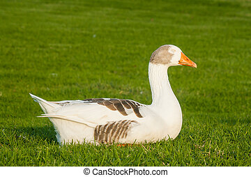domestic goose sleeping on fresh grass