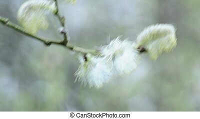 Willow blossom in spring