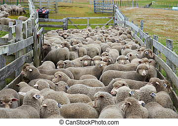 Sheep in a Corral - Flock of sheep in a wooden corral of a...