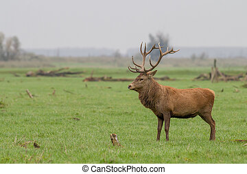 Red deer - A lonely red deer standing proud with big antlers