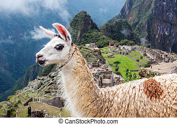 Llama at Machu Picchu - Llama blocking the view of Machu...