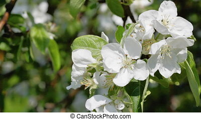 Branch of a blossoming apple-tree close up