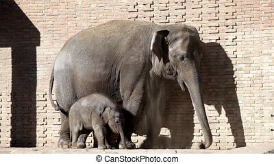 Adult elephant and baby elephant calf in the open open-air...