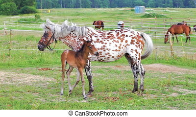 Spotty horse with a foal on a pasture