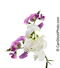 Sweet Pea Flowers - Digital Painting Of  Sweet Pea Flowers