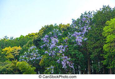 Mountain silky wisteria