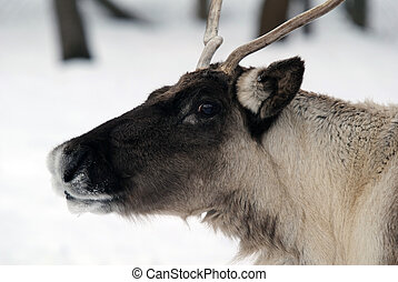 Reindeer - Close-up portrait of a reindeer on a cold Winter...