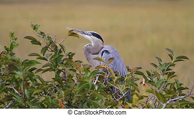 Blue Heron in the Everglades - A Blue Heron in the Florida...