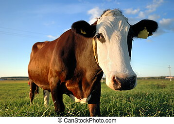 close-up portrait of brown cow