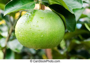 pomelo, ogród, owoc, drzewo, Wietnam