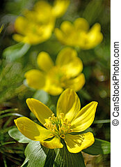 Winter aconite, Eranthis hiemalis - Winter aconite, Eranthis...