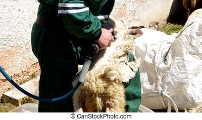 Man shearing a sheep in the corral - Shearing sheep in...