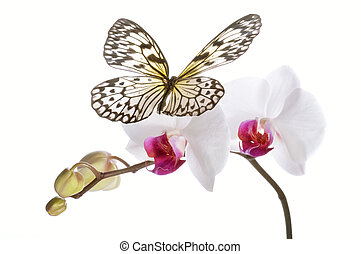 Butterfly on white orchids. - Butterfly on white orchids...