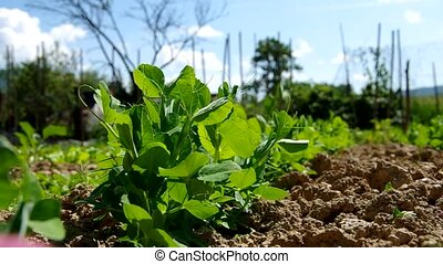 Green peas growing out of soil - Fresh green peas growing...