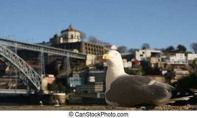 Closeup Seagull sits and takes off in Ribeira Old Town,...