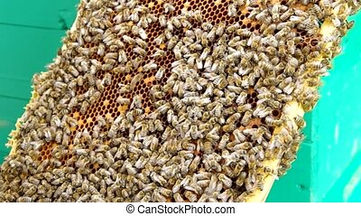 Beekeeper checking honeycomb - Beekeeper chose honeycomb...