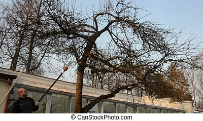 man saw tree branch - gardeners saw trim apple fruit tree...