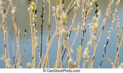 Pussy-willow twigs with catkins on the banks of the pond