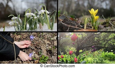 spring flowers collage - Snowdrop in snow, yellow saffron,...