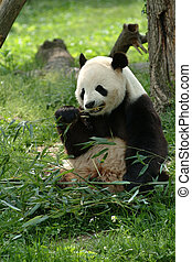 Giant pandas in a field with a tree and grass