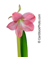 blooming amaryllis - pink flower of amaryllis isolated on...