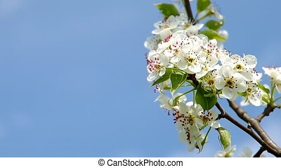 Blooming cherry tree - Blooming branch of cherry tree