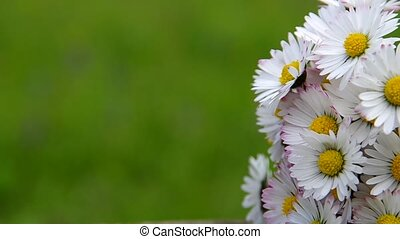 Just collected daisies on green background.