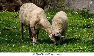 Two sheep grazing
