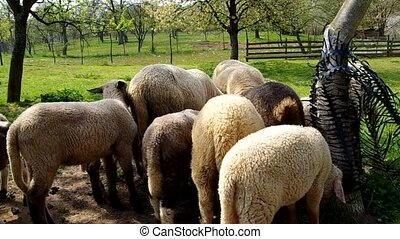 Sheep in the corral - Flock of sheep in a corral under the...