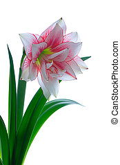 blooming amaryllis isolated on white background