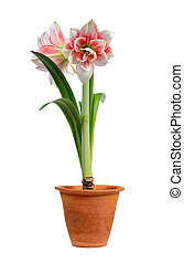 blooming amaryllis in ceramic pot isolated on white...