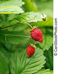 bush of strawberries - Bush with two red edible berries of...