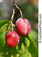 couple of plum on tree branch - bunch of two mature fruits...