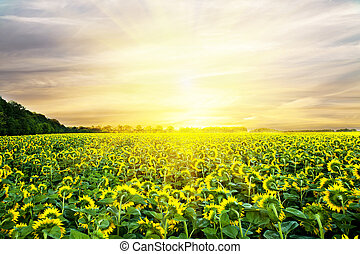 meadow sunflowers on the sky backgrounds