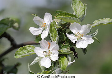 Apple blossom - White apple tree blossom May day