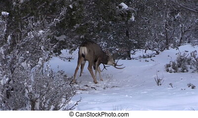 Mule Deer Bucks Fighting - mule deer bucks fighting in the...