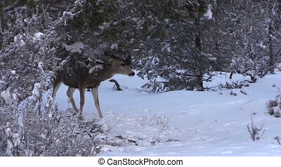 Mule Deer Buck in snow - a mule deer buck behind a snow...