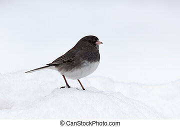 Junco in Snow - With its feet buried in a mound of snow,...
