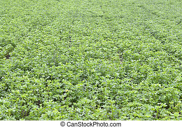 Alfalfa beautiful green plant growing in the field of animal...