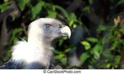 himalayan vulture - beautiful himalayan vulture