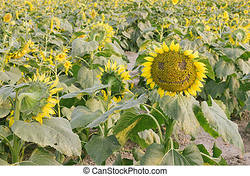 smiling face of sunflower in the field