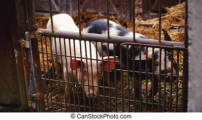 Young Pigs on Breeding Farm - Young Pigs in Stable on...