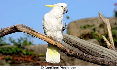 cockatoo - white parrot portrait close up