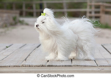 pet maltese dog , dogs or pets.
